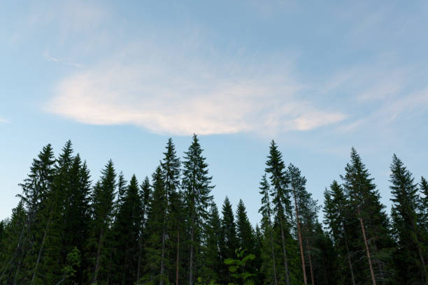 Treetops and sky at dawn stock photo