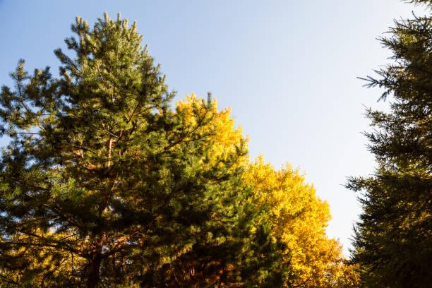 cime des arbres en automne - arbre à feuilles caduques photos et images de collection