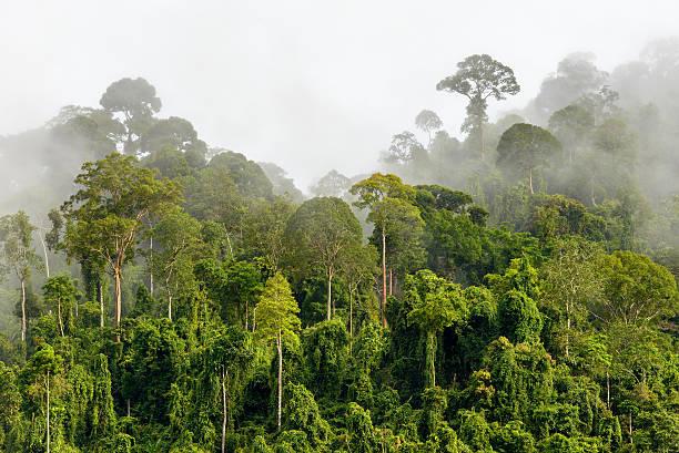 copas de árvores da densa floresta tropical com neblina matinal localizada n - malásia - fotografias e filmes do acervo