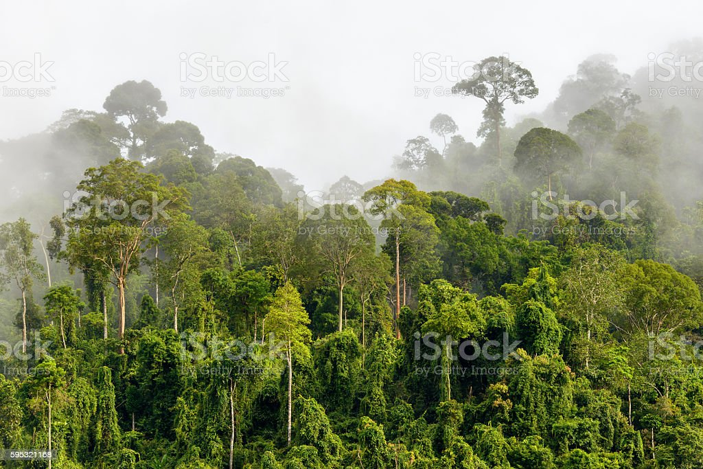Treetops of Dense Tropical Rainforest With Morning Fog Located N stock photo