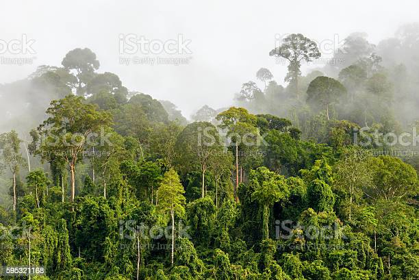 Photo of Treetops of Dense Tropical Rainforest With Morning Fog Located N