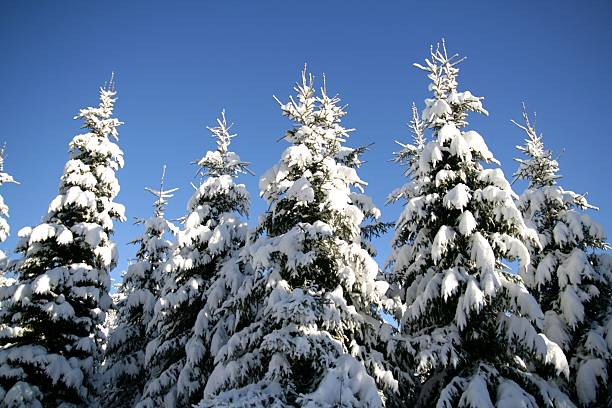 Treetops with snow stock photo