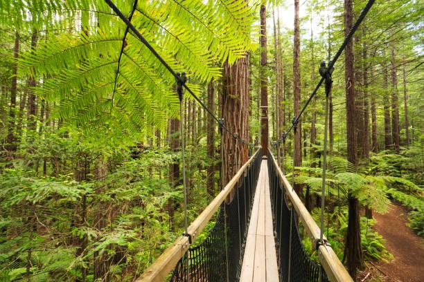 Treewalk through Forest of Tree Ferns and Giant Redwoods in Whakarewarewa Forest near Rotorua, New Zealand Treewalk through Forest of Tree Ferns and Giant Redwoods in Whakarewarewa Forest near Rotorua, New Zealand whakarewarewa stock pictures, royalty-free photos & images