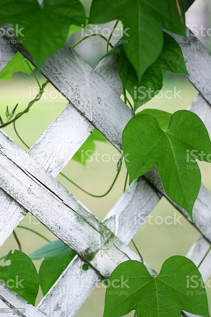 Trellis with Vine royalty-free stock photo