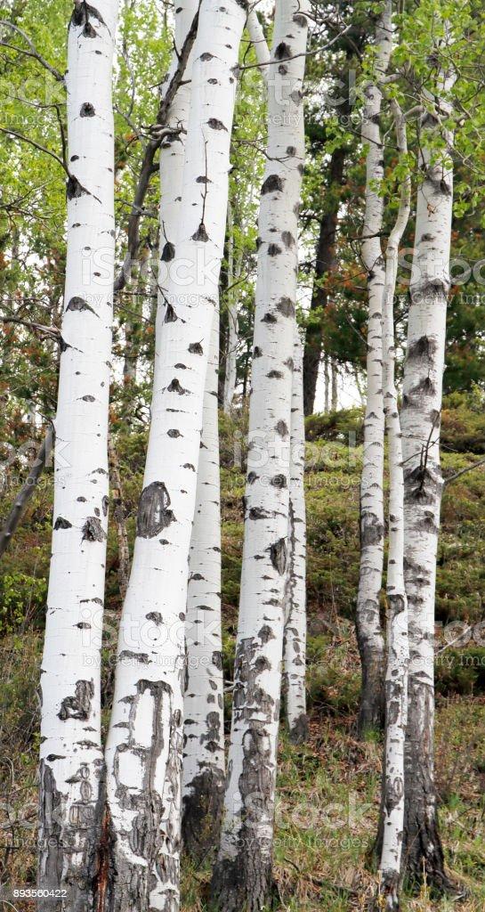 Trembling aspen (Populus tremuloides) stock photo