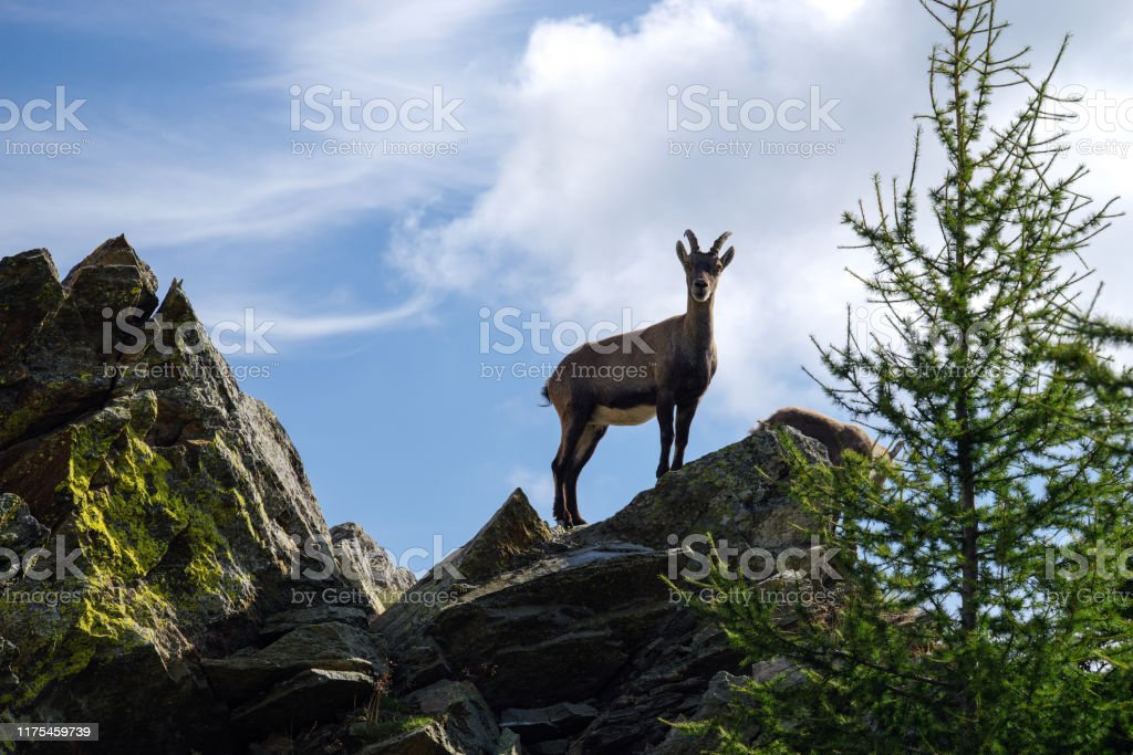 Tremenico, Lecco, Itay, August 16, 2019 - Capricorns on mountain Legnone at 1820 m altitude - Стоковые фото Альпийский козёл роялти-фри