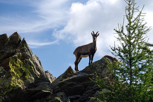 Tremenico Lecco Itay August 16 2019 Capricorns On Mountain Legnone At 1820 M Altitude — стоковые фотографии и другие картинки Альпийский козёл