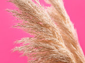 Pink background with trendy pampas grass. Interior design, boho style plant home decor