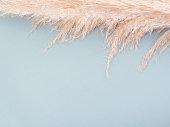 Trendy botanical background with fluffy pampas grass on blue. Interior design boho style plant decor
