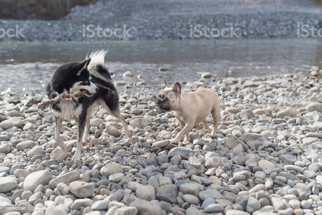 2 trendy dog breeds playing with stick by a river stock photo