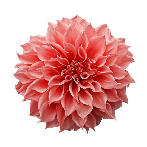 trendy roze-oranje of koraalkleurige dahlia bloem de tubereuze tuin plant geïsoleerd op witte achtergrond met uitknippad. - dahlia stockfoto's en -beelden
