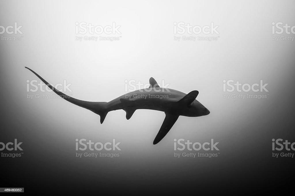 Tresher shark stock photo