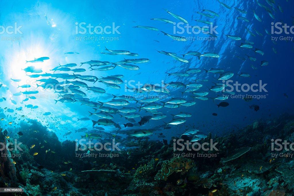 Trevallies, Snappers, pseudanthias, mariposa Fishes, pescado Paradise Raja Ampat, Papúa, Indonesia - foto de stock