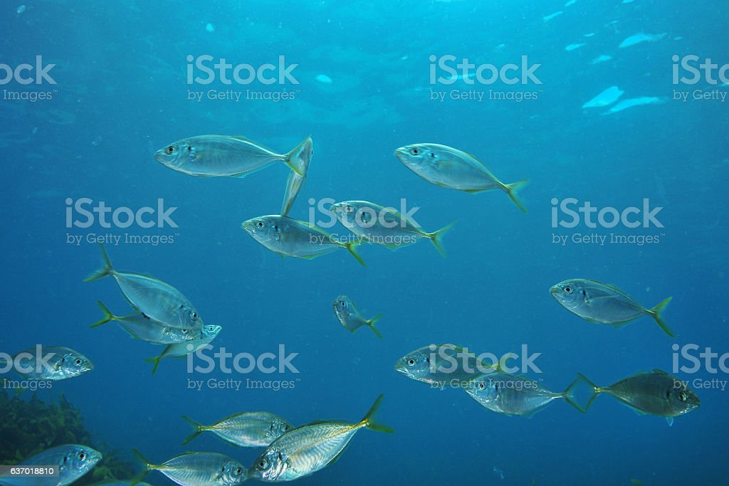 Trevally in blue water stock photo