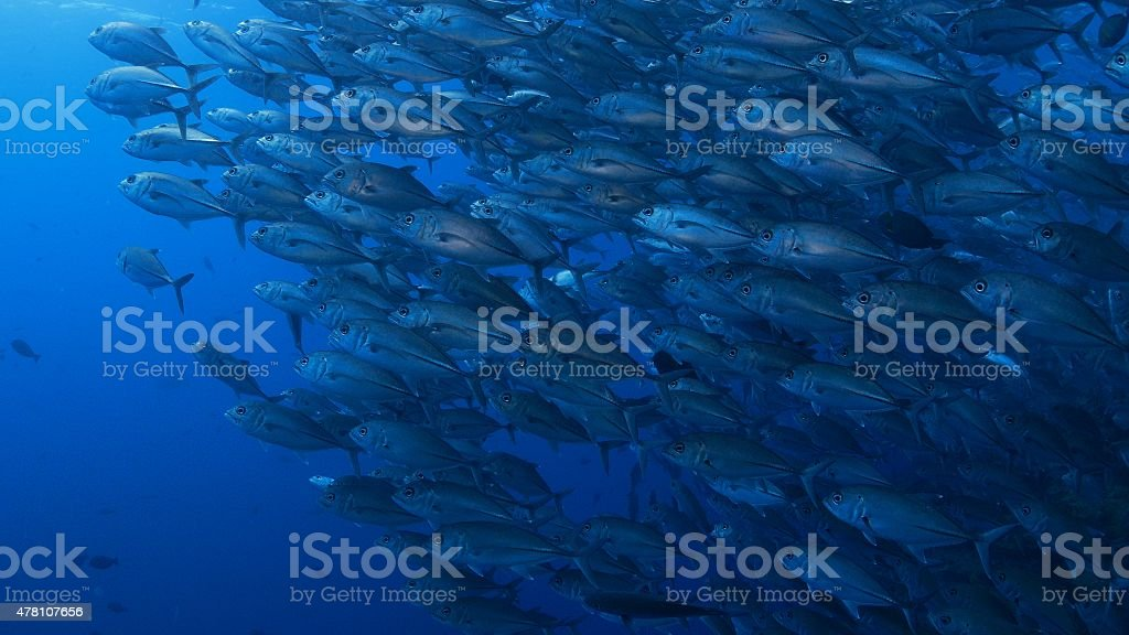 A big school of Trevally swimminging in the line underwater in...