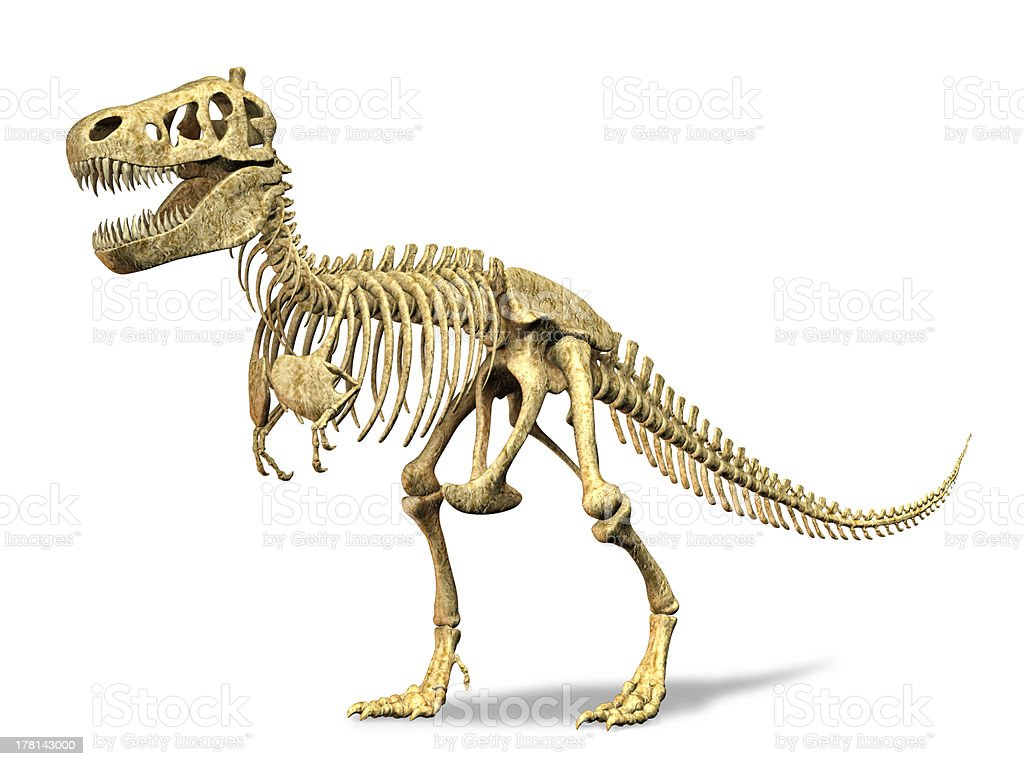 T-Rex skeleton. At white background. Clipping path included. stock photo