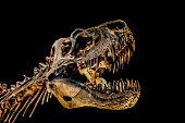 Isolated tyrannosaurus rex skeleton on black background.