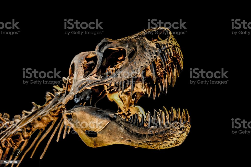 T-Rex Skeleton stock photo