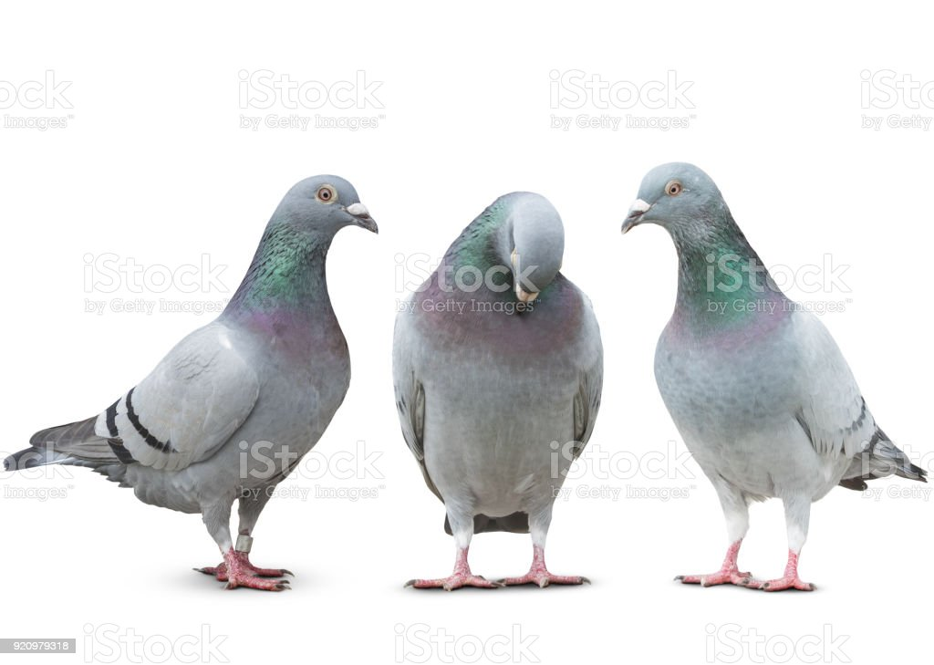 trhee pigeon bird friend sad story on white background stock photo