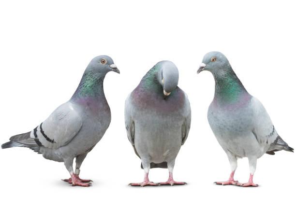 trhee pigeon bird friend sad story on white background trhee pigeon bird friend sad story on white background pigeon stock pictures, royalty-free photos & images