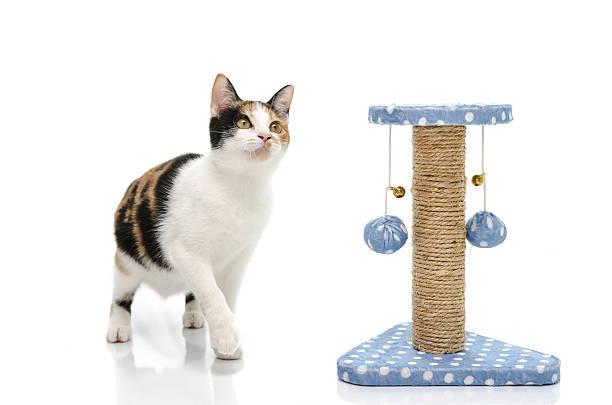Tri colors cat playing with toy Tri colors cat playing with toy on white tortoiseshell cat stock pictures, royalty-free photos & images