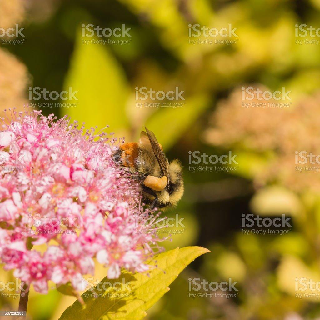 Tri Colour Bumblebee Collecting Pollen stock photo