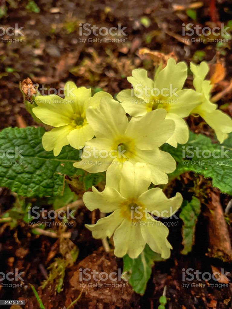 Triangle Of Yellow Primrose Flowers In The Garden Stock Photo More