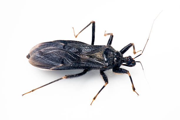 Triatomine, Assassin Beetle, or Kissing Bug stock photo
