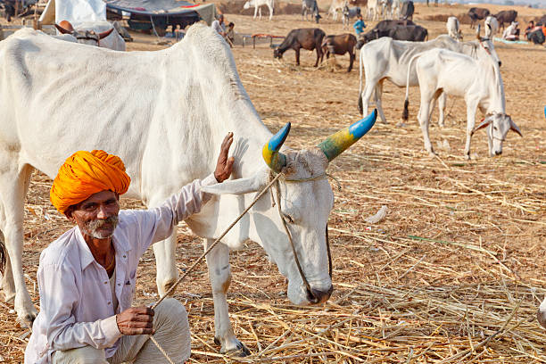 Tribal cattle seller with cow  Pushkar India stock photo