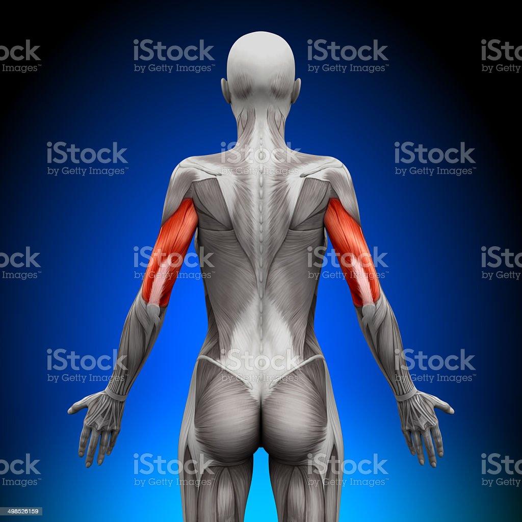 Anatomía Los Músculos Tríceps Estén Muy Bien Cuidadoshembra ...