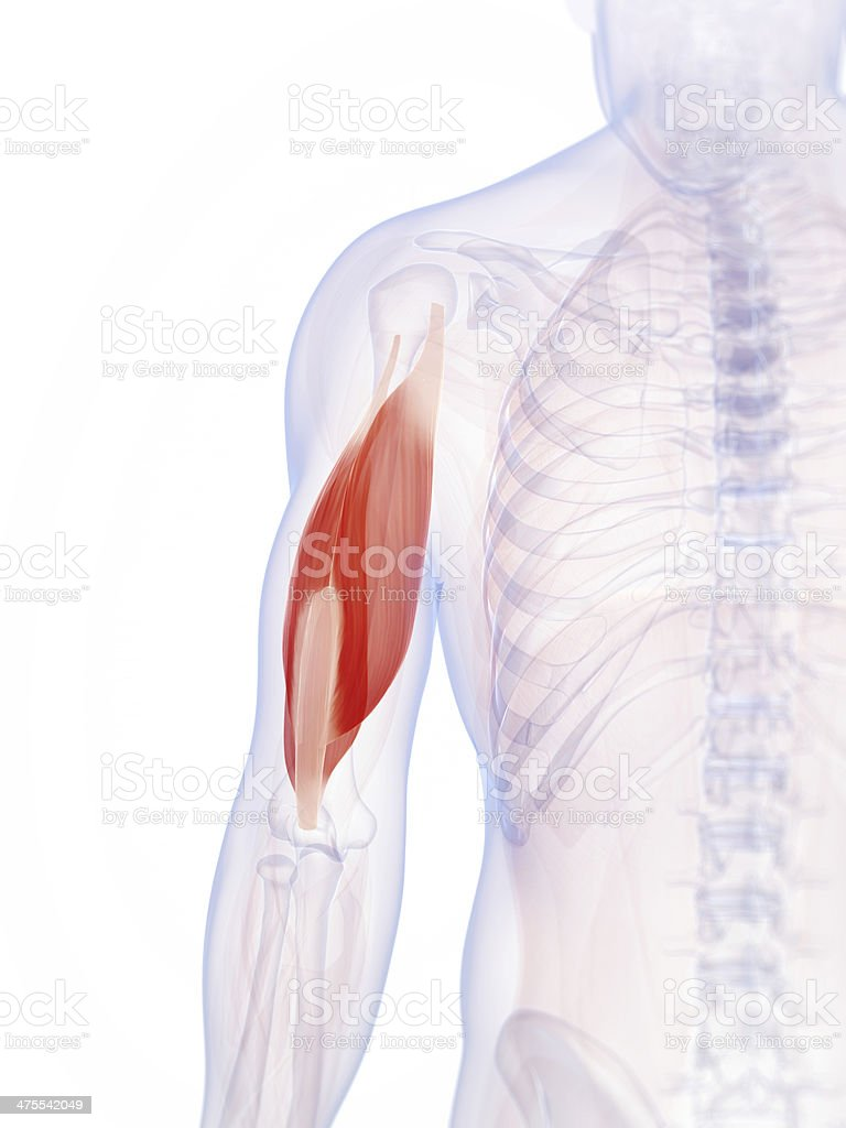 triceps muscle stock photo