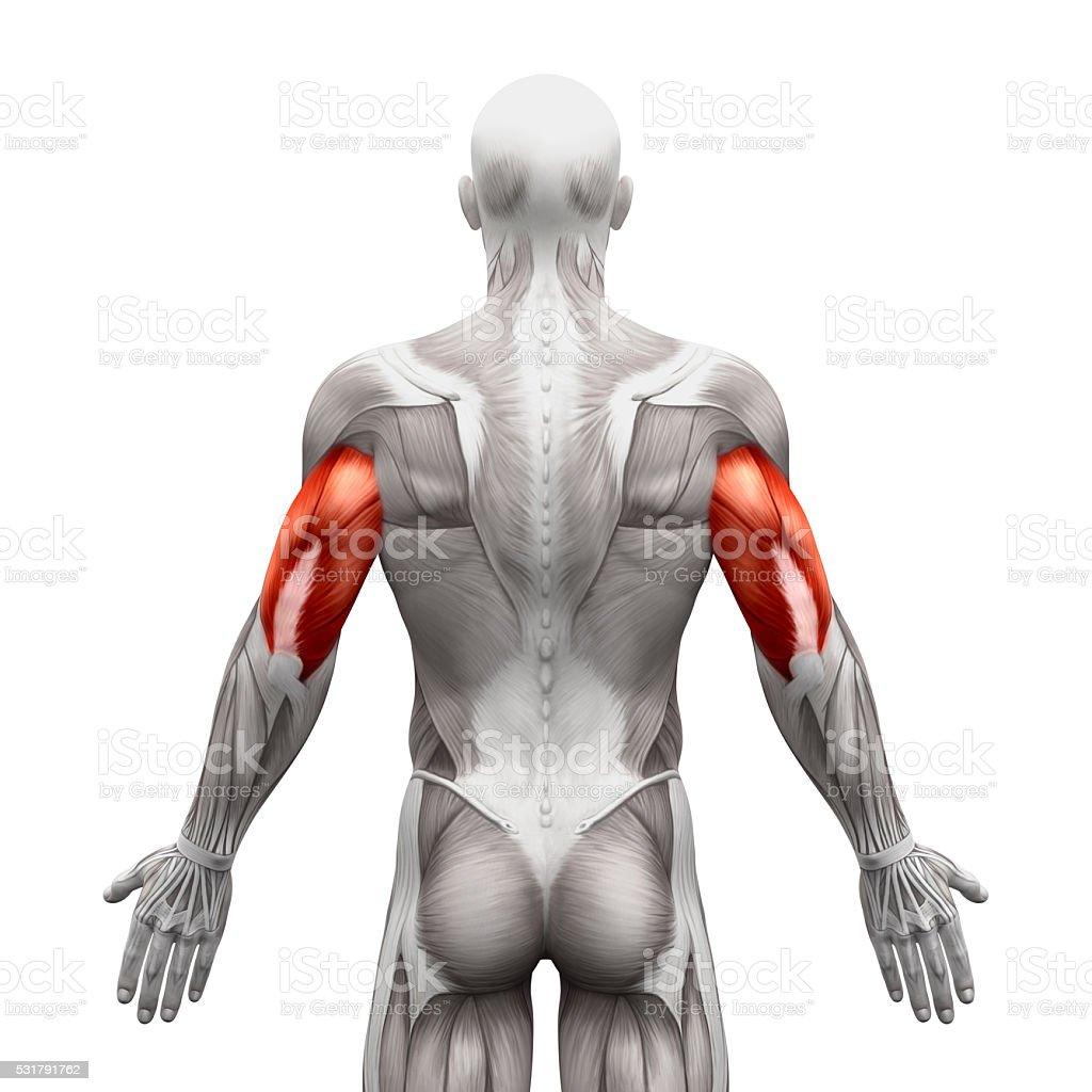 Fotografía de Los Músculos Tríceps Estén Muy Bien Cuidados De ...