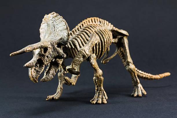Triceratops fossil dinosaur skeleton model toy stock photo