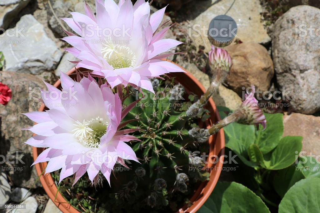 Trichocereus cactus with pink flowers in summer, Germany stock photo