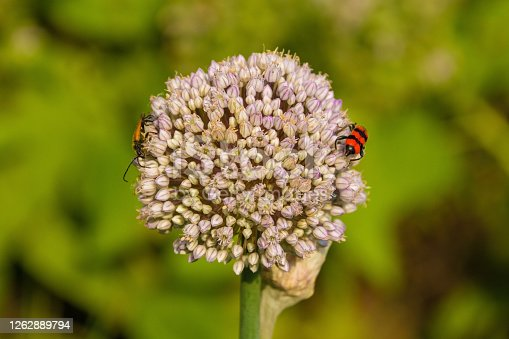 A Trichodes Apiarius beetle from the Cleridae, Clerinae family on an ornamental allium growing in Friuli, Italy