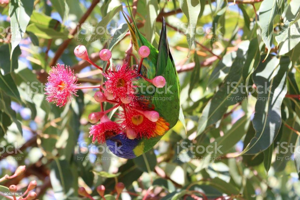 Trichoglossus moluccanus in Royal Botanic Gardens Sydney, Australia stock photo
