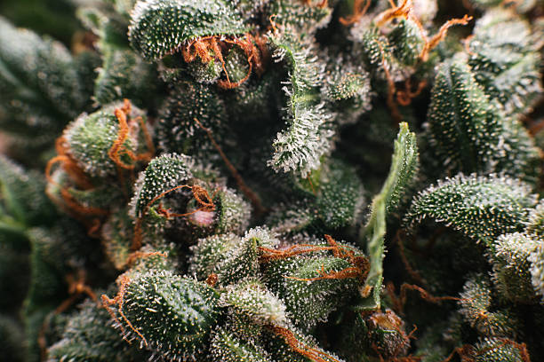 trichomes marijuana cannabis Medical marijuana cannabis, buds trichomes plant trichome stock pictures, royalty-free photos & images