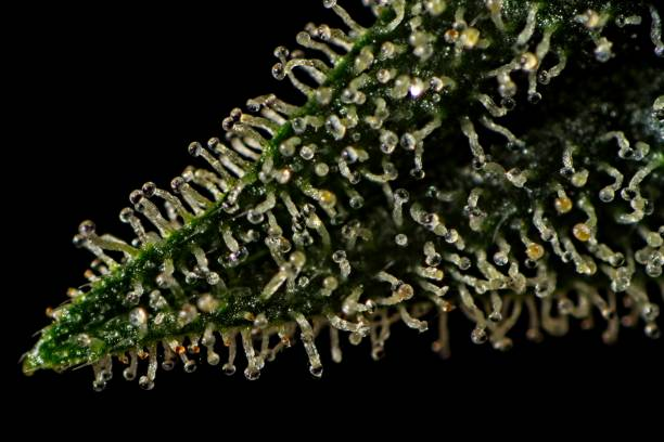 Trichomes on cannabis plant leaf Macro close up of trichomes on female cannabis indica plant leaf. plant trichome stock pictures, royalty-free photos & images