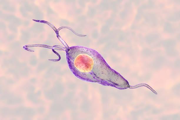 Trichomonas vaginalis protozoan Trichomonas vaginalis protozoan, 3D illustration. A parasite causing trichomoniasis, sexually transmitted infection in men and women protozoan stock pictures, royalty-free photos & images