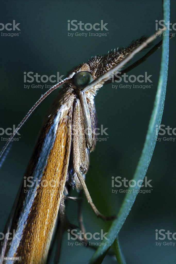 trichoptera on a green leaf stock photo