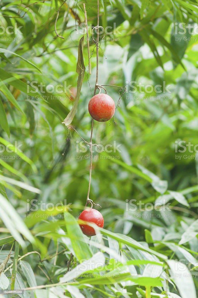 Trichosanthes bracteata (Lam.) Voight (T.palmata Roxb.) royalty-free stock photo