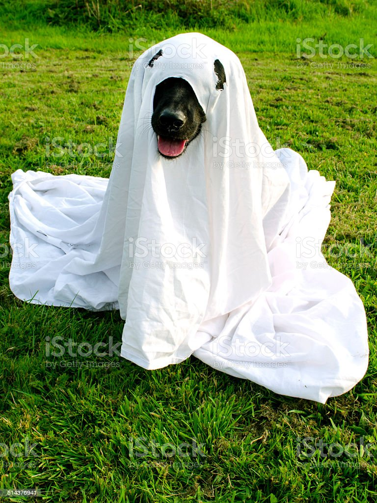 Trick or Dog Treat Dog dressed as a ghost for Halloween Trick or Treating Autumn Stock Photo