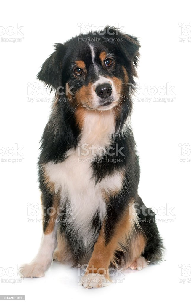 tricolor australian shepherd stock photo