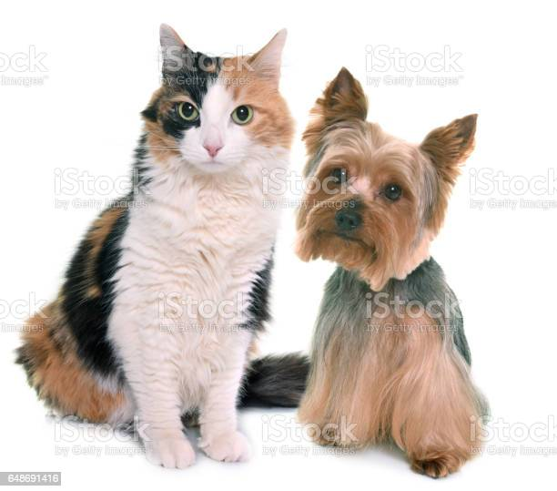 Tricolor cat and yorkshire terrier picture id648691416?b=1&k=6&m=648691416&s=612x612&h=  ovciraptvpwuo9om9wremj6 b1vf0 dvkbhwcoyjs=