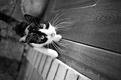 Tricolor cat on the doorstep wants to enter the house. Maneki neko kitty portrait with paws on the door. Black and white photo.