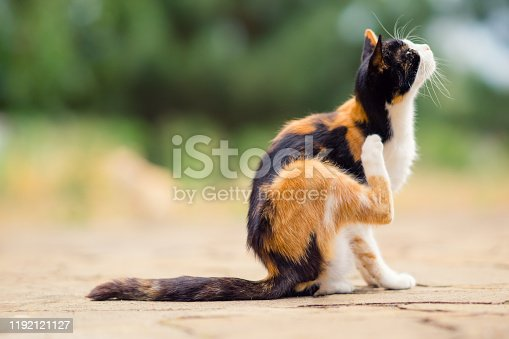 Tricolor cat paw scratches behind the ear. Fleas and ticks in domestic animals