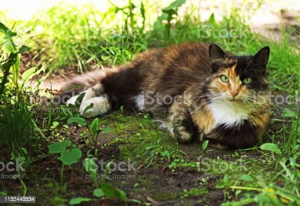 Tricolor cat picture id1132440334?b=1&k=6&m=1132440334&s=612x612&h=zryiv3wa6jcq abv cn akhkfw9f8syka y63pu1w8c=