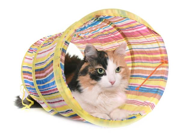 Tricolor cat picture id648691484?b=1&k=6&m=648691484&s=612x612&w=0&h=xnwyz2x5etaohqvmp1ttyvmle4dtlmvnaauedz0wnfs=