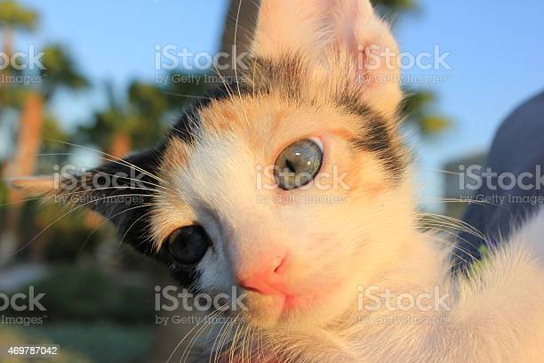 Tricolor domestic kitten picture id469787042?b=1&k=6&m=469787042&s=612x612&h=vofimovfrsj r2cayvuzwq88rpsy9dq9r r cqtctbu=