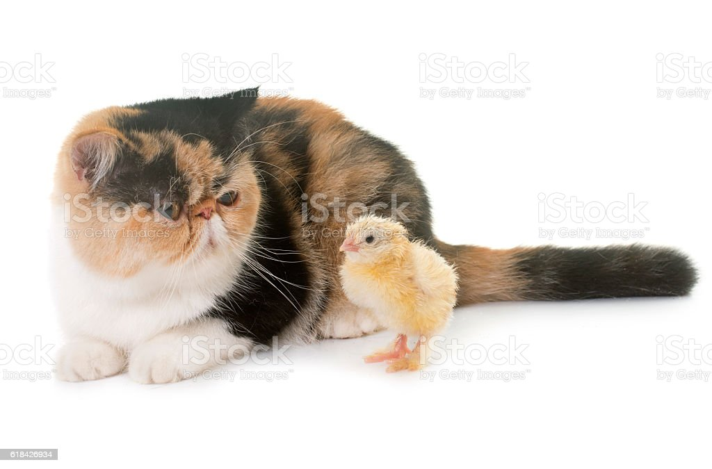 tricolor exotic shorthair cat and chick stock photo